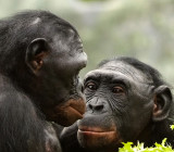 Bonobo Sisters Lucy and Lexi.jpg