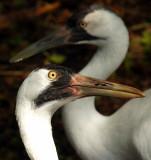 Whooping Cranes.jpg