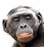 Bonobo Female.jpg