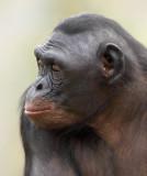 Bonobo Female 2.jpg