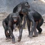 Bonobo Family.jpg