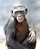 Bonobo Portrait.jpg