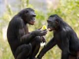 Bonobo Sisters.jpg