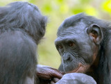 Bonobo sister trying to sweet talk her younger sibling.jpg