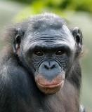 Bonobo Female .jpg