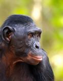 Sweet Face Bonobo.jpg