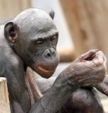 Bald Bonobo.jpg