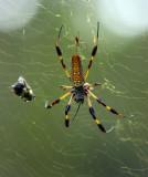Banana Spider 2.jpg