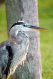 Heron Captiva Island.jpg