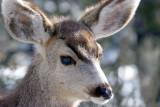 Grand Canyon Mule Deer.jpg