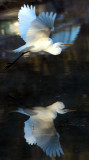 Reflections of an Egret.jpg