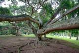 Tree in Royal Botanical Gardens, Kandy. (Original)