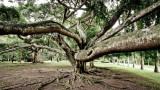 Tree in Royal Botanical Gardens, Kandy. (Processed)