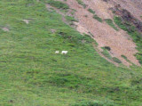 Dall Sheep & Lamb