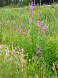 Fireweed and Foxtail