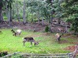 Reindeer on Chena River