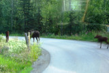 Waiting for Moose & Calf to Cross Road