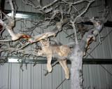 WM Lynx