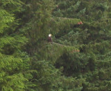 Bald Eagle at Helicopter Airfield