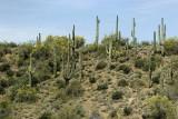 Saguaro Cactus Outside of Phoenix, AZ