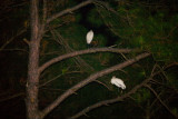 White birds roosting overnight in the tall pines