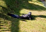 Seven foot gator sunning himself