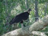 Hunting Island vulture