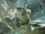 MGM lion on glass