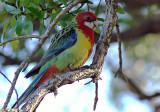 nz_birds_arrived_from_australia