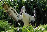 pelican_pix