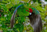 NZ Parrots & Parakeets.