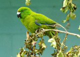 antipodes_island_parakeet