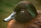 new_zealand_flightless_birds