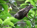 Female Stitchbird.@ Karori.
