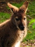 Bennetts Wallaby.