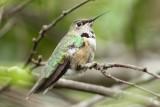 Broad-tailed Hummingbird, Lafayette, LA, 11/14/08