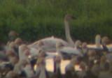 Gladu.Swan5.jpg