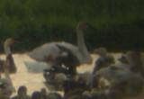 Gladu.Swan6.jpg