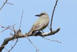 Tropical/Couch's Kingbird, Peveto Woods, LA, 6/9/09