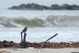 Merlin - Holly Beach