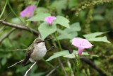 Ruby-throated and Morning Glory - Peveto Woods