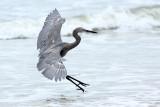 Reddish Egret - Holly Beach