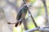Buff-bellied Hummingbird, Baton Rouge to Lafayette