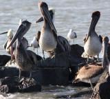 Brown Pelican band # 3Y6