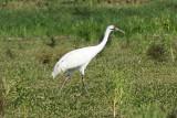 Whooping Crane, Vermillion Parish, Oct 5, 2012