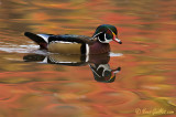 Canard branchu - Wood Duck - 12 photos