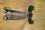 Canard colvert mâle avec reflet #8803.jpg