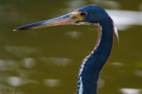 Aigrette tricolore - Tricolored Heron - 1 photo