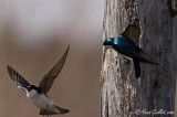 Hirondelle bicolore - Tree Swallow - 9 photos