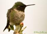 Colibri mâle 05-2009 #0512.jpg